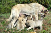 puppies nursing gu outside small.jpg