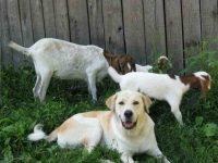 Belle_and_goats_op_640x480.jpg