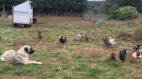 Nala with chickens.JPG