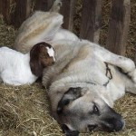 Anatolian Shepherd Guarding Livestock
