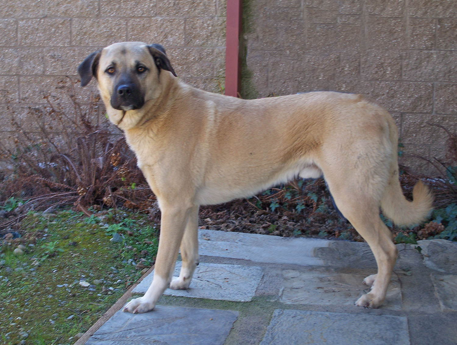 Anatolian Dog Pictures